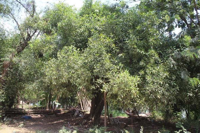 Sandan tree.JPG